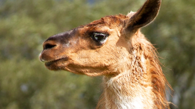 [NEWSC] Police Capture Escaped Llama In California