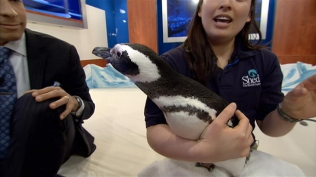 [CHI] Shedd Aquarium Penguins In Mood For Love