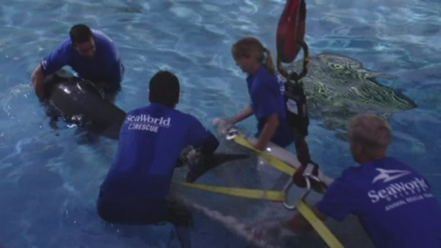 [MI] RAW VIDEO: Stranded Pilot Whales go to SeaWorld Orlando