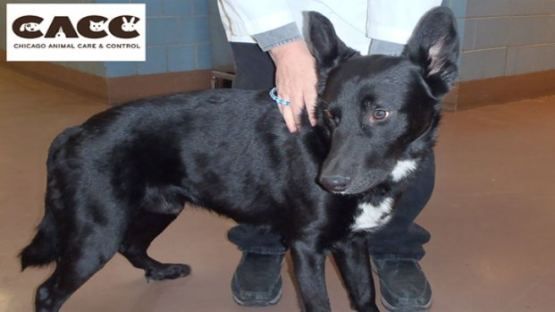 Rescued Dog Recovers at Chicago Animal Care & Control