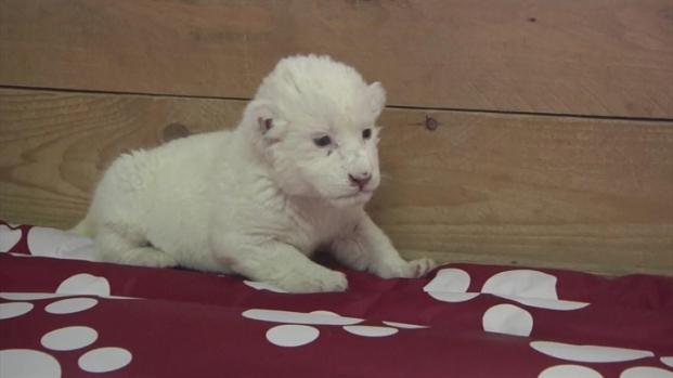 [AP] Raw: Rare White Lion Born in Belgrade Zoo