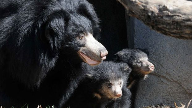 Sloth Bears Cubs Make Public Debut at Brookfield Zoo