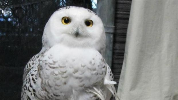 [CHI] Injured Snowy Owl Released Back into Wild