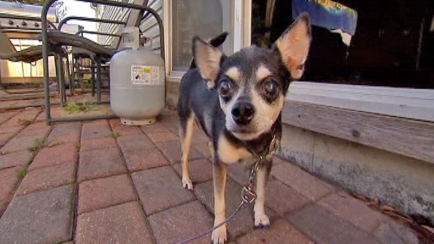 [CHI] Chihuahua Owner Fends off Coyotes