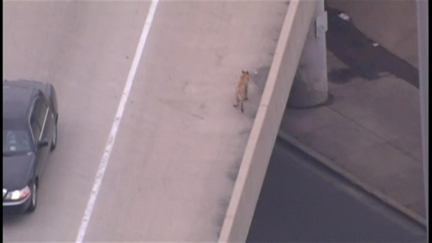 [CHI] Sky 5: Dog Runs Loose on Kennedy Expressway