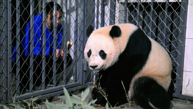 Now in China, Bao Bao Starts Quarantine