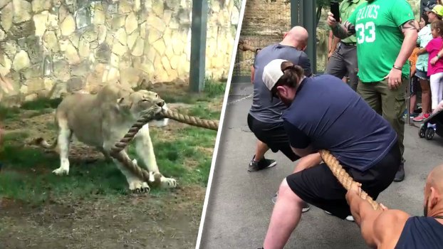 Lion Cub Takes on WWE Stars In a Tug-of-War at Texas Zoo