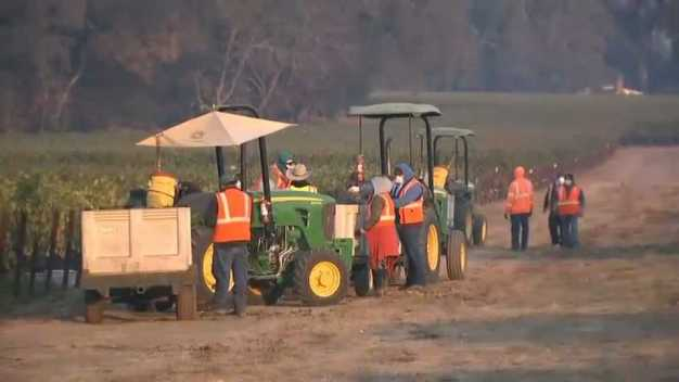Workers Continue to Harvest Grapes Despite Unhealthy Air