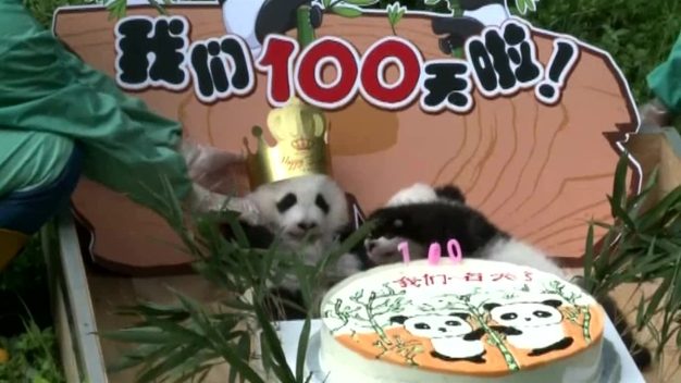 Adorable Twin Panda Cubs Feast on Special Cake