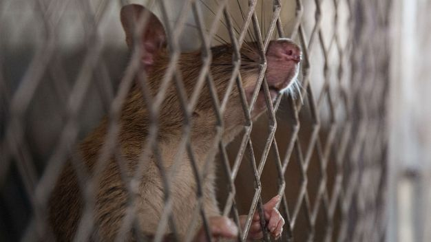 Chicago Named 'Rat Capital' of America in New Ranking