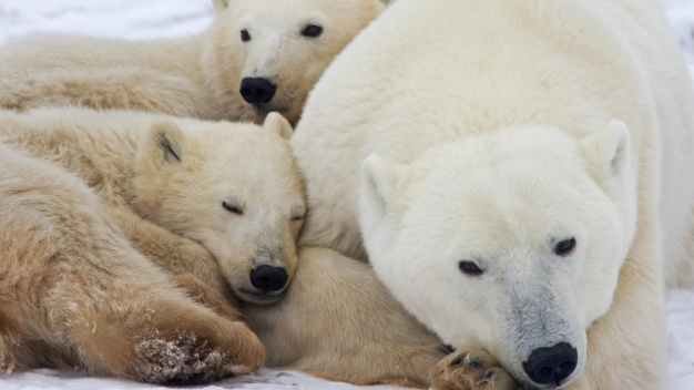 Greenhouse Gases Biggest Threat to Polar Bears: Study