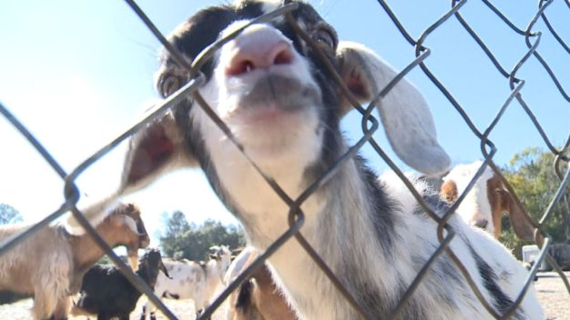 Community Embraces Goat Neighbors