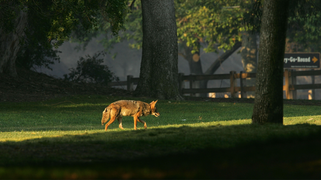 Suburban Chicago Coyote Sightings Increase in Winter
