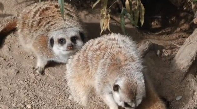 [NATL-V-BAY] Oakland Zoo Welcomes Three Baby Meerkats