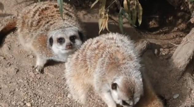 [NATL-V-BAY] Oakland Zoo Welcomes Three Baby Meerkats