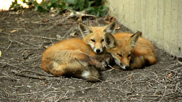 Baby Foxes Make NU Home