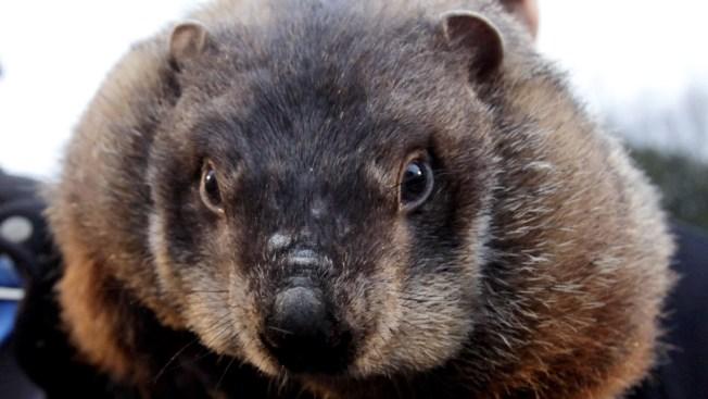 Ohio Prosecutor Drops Charge Against Pa. Groundhog