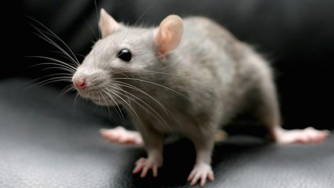 Fioretti Accuses Emanuel of Taking Credit for His Rat Control Idea