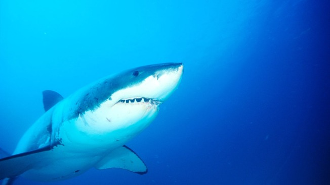 Australian Diver Survives Second Shark Attack in 9 Years