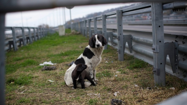 Sochi City Hall Orders Killing of Stray Dogs