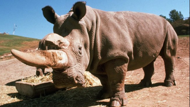 Endangered Rhino Dies in San Diego Zoo, Five Left in the World