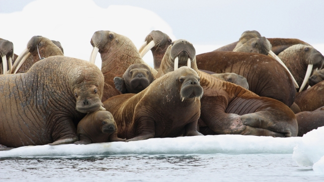 Activist Renews Plea for Walrus Rafts in Absence of Arctic Sea Ice