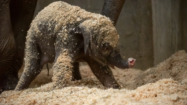 1st Baby Elephant Born at Columbus Zoo in Nearly 10 Years