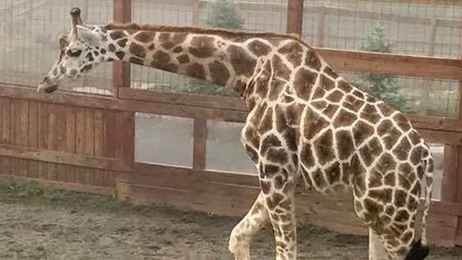 April the Giraffe Is Going on Birth Control, Won't Have Any More Babies