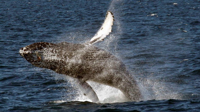 Kiteboarder Accidentally Collides With Humpback Whale off Crissy Field Beach in San Francisco