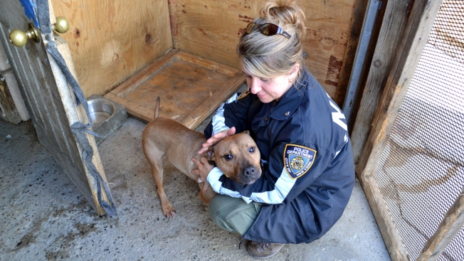 20 Starved, Scarred Pit Bills Rescued From NYC Home in Alleged Dog-Fighting Bust: Police