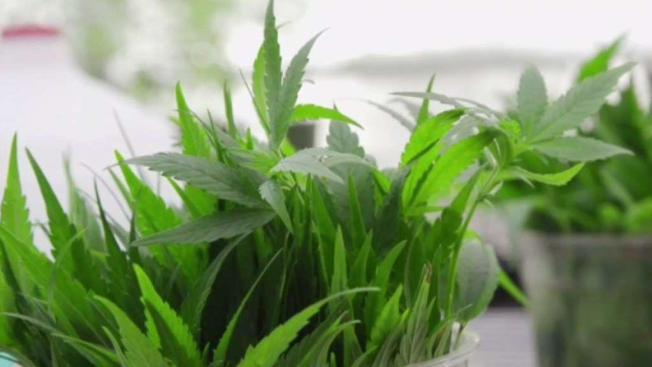 Illinois Dispensaries Prepare for Medical Marijuana Program