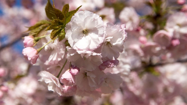 After Cold Snap, Chicago's Cherry Blossoms Likely to Bloom Soon