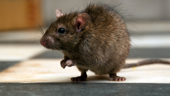 The End of the Rat Race? New Zealand Aims to Become Rat Free