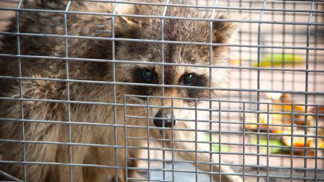 Riverside Police Warn Pet Owners of 'Zombie Raccoons'