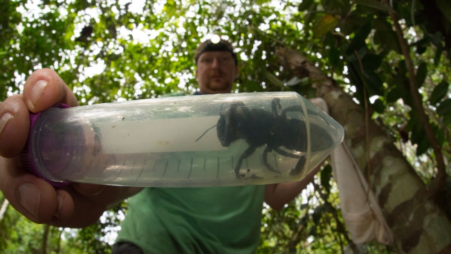 World's Largest Bee, Once Feared Extinct, Rediscovered in Indonesia