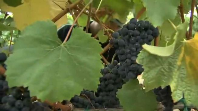 Vine Crime: Va. Winery Loses Grape Harvest in Nighttime Heist