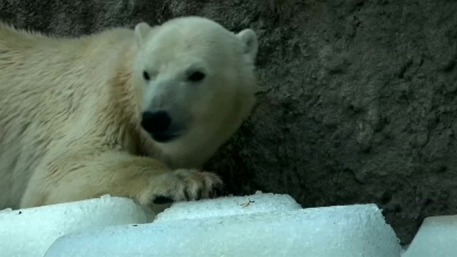 Polar Bear 'Kobe' Euthanized at Lincoln Park Zoo