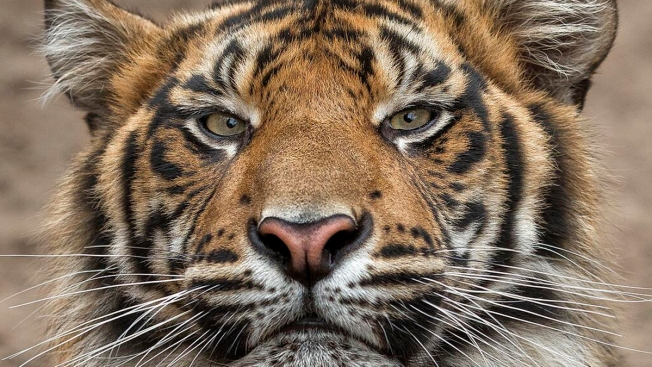 Cops: Reports of Tiger on the Loose in Gary, No Tiger Found