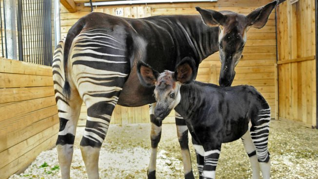 "Brookfield Zoo Announces Birth of ""Forest Giraffe"""