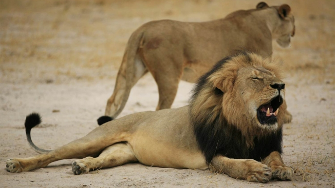 Zimbabweans in Lion Hunt in Court; Kill Was 'Unethical'