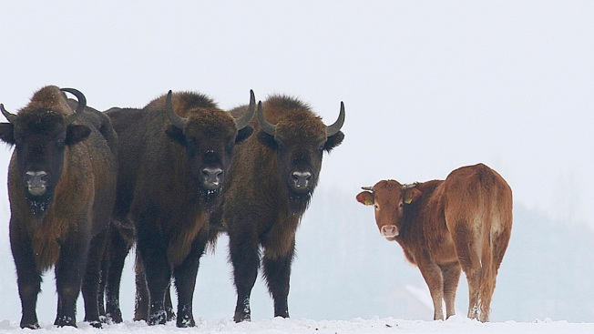 Cow Escapes Farm to Run Free With Wild Bison in Poland