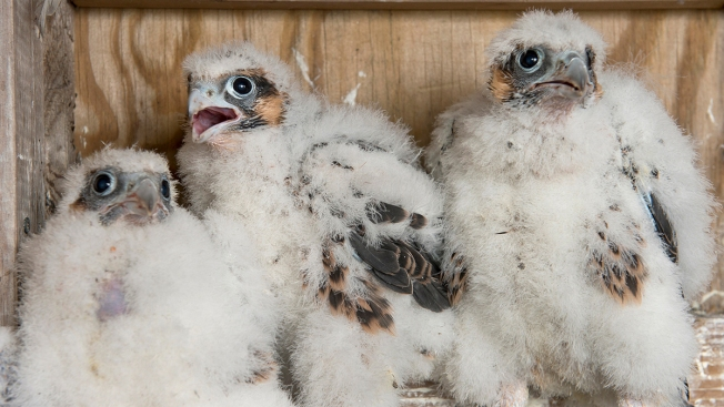 Falcon Chicks Nesting on New York City Bridges
