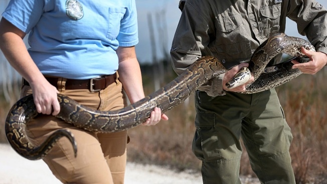 Court Sides With Reptile Keepers Against Giant Snake Ban