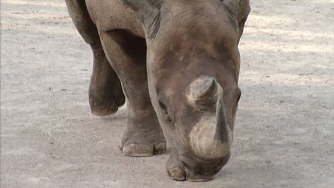 Group Auctions Off Chance to Hunt Endangered Rhino