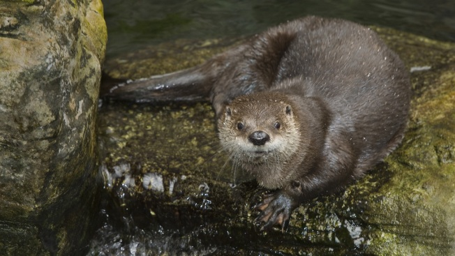 Shedd Officials Euthanize 21-Year-Old River Otter