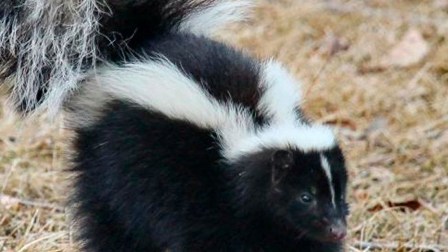 Chicago Suburb Paying Residents for Trapped Skunks