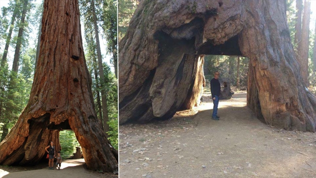 storm topples huge iconic tunnel tree in n california nbc chicago