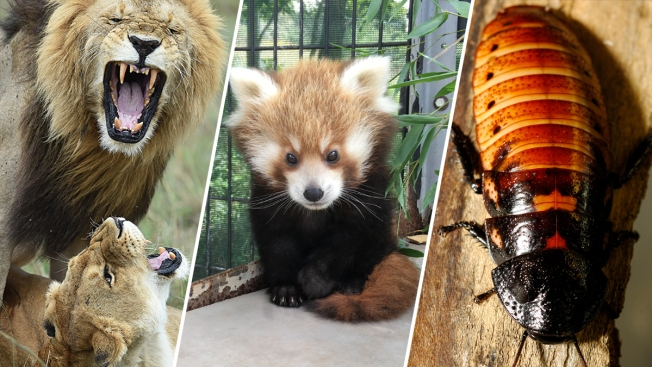 Why Give Flowers When You Can 'Adopt' a Red Panda or Name a Roach This Valentine's Day