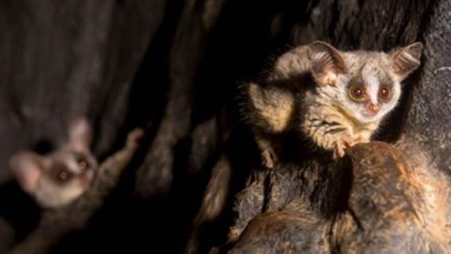 Lincoln Park Zoo Welcomes Moholi Bushbaby