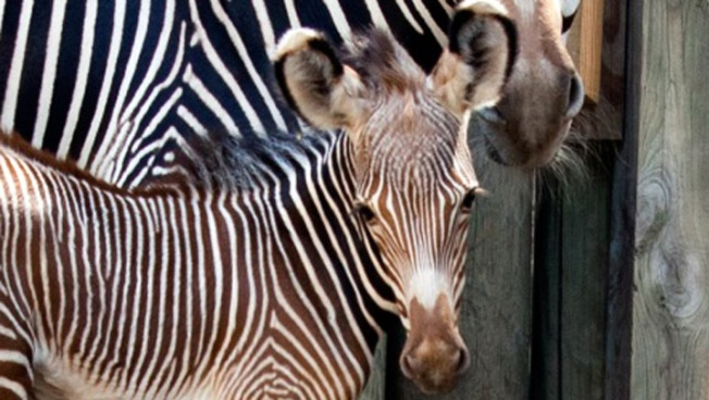 Lincoln Park Zoo Seeks Help Naming Zebra